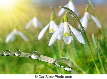 Dew drop on grass and snowdrop flower close up. Spring...
