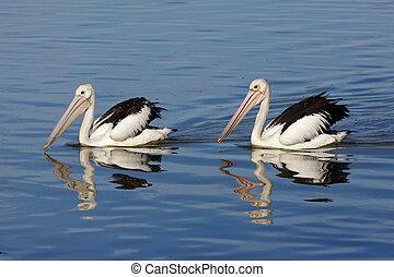 Australian Pelicans (Pelecanus conspicillatus), swimming in...
