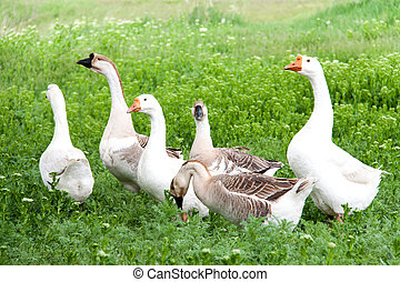 flock of geese grazing on green grass in the village - a...