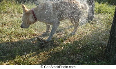 Wet dog shaking off water from his fur at nature. Golden...