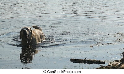 Wet dog standing at river and shaking off water from his fur...