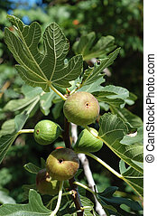 Fig tree Ficus carica fruits