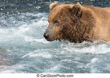Alaskan brown bear fishing for salmon