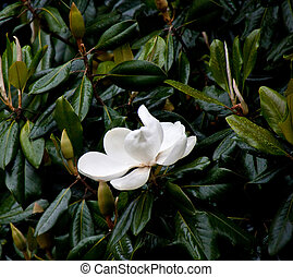 Magnolia Tree in Rain with White Bloom - A white magnolia...