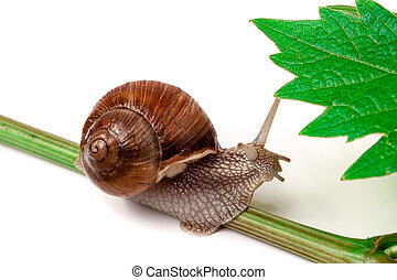 snail crawling on the vine with leaf white background