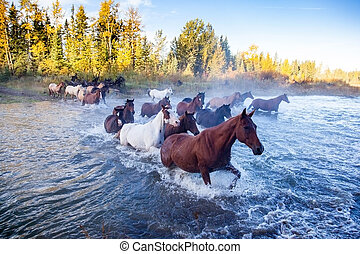 Horses Crossing a River in Alberta, Canada - Closeup of...