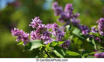 Lilac bush. Natural spring background with blossoming...