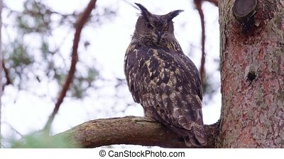 Large eagle owl sitting on a branch in a tree - Eurasian...