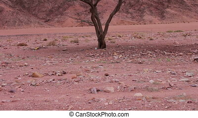 Red desert landscape of Sinai Mountains and young lone green...