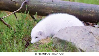 White arctic fox lies and rests at forest floor in the late...
