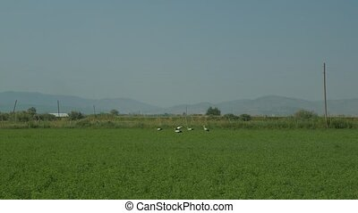 Group of storks feeding on green field. Flying and landing...