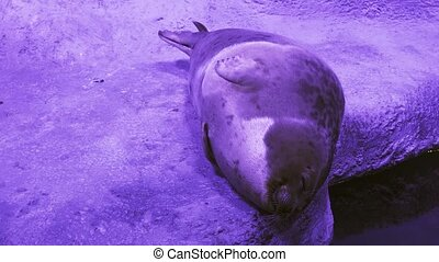 Funny Ringed seal trying get to sleep stock footage video -...