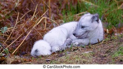 Arctic fox lies and rests at forest floor in the late fall -...