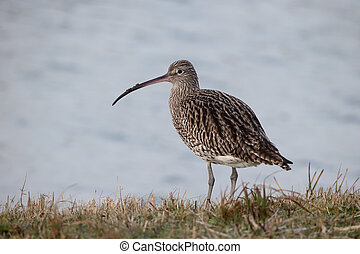 Curlew, Numenius arquata, single bird by water, Netherlands,...