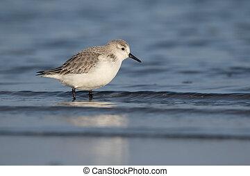 Sanderling, Calidris alba, single bird in water,...