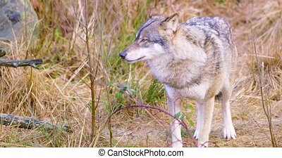 One grey wolf standing and smells in grass - Gray wolf...