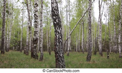 Birch woods grove in the forest