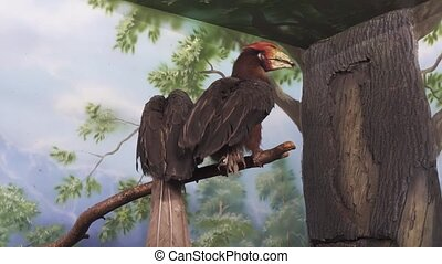 Beautiful Rufous hornbill on tree branch stock footage video...