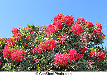Red flowering eucalyptus gum tree - Eucalyptus ptychocarpa...