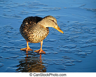 Duck on thin ice - Wild-duck, stands on thin ice of the...