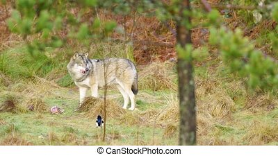 One grey wolf stands in the forest and guards a piece of meat