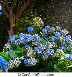 Hydrangea plant over nature background, spring flowers -...