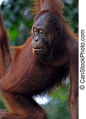 Orangutan Female - Orangutan female, photo from national...