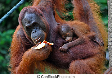 Orangutan Female with Baby - Orangutan female with a baby,...