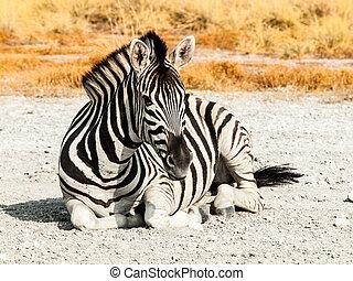 Zebra lying on a dusty ground in the middle of savanna, Etosha National Park, Namibia, Africa