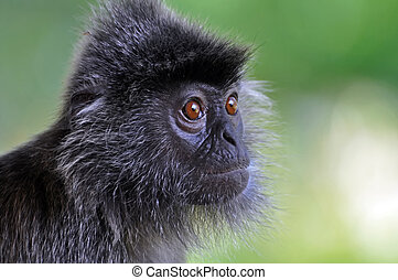 Silver Leaf Monkey - A Silver Leaf Monkey in the mangrove...