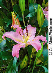 Lilly Flower among Green Leaves in the Garden