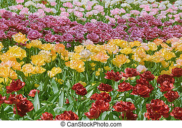 Tulips Flower Bed - Flower Bed of Different Kinds of Color...