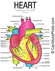Chart of HEART Anterior view with parts name - Vector image