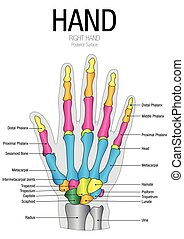 Chart of HAND Posterior Surface with parts name - Vector...