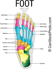Chart of FOOT Dorsal view with parts name - Vector image