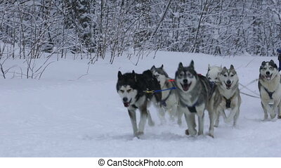 Husky race outdoors in winter. - Husky race outdoors in...