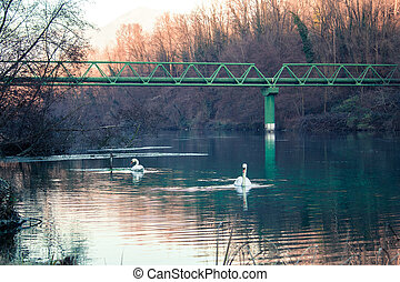 Two Swans swimming in a river in Italy - Swans swimming in a...