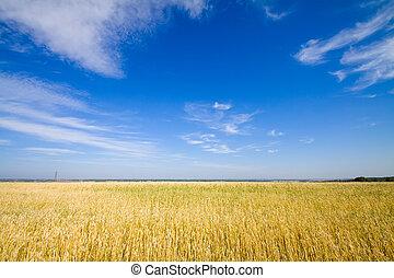 dourado, trigo, campo