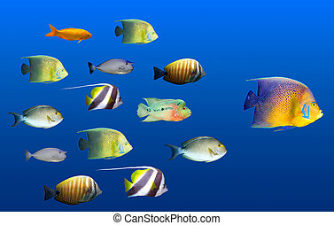 Leadership concept - big fish leading school of tropical...