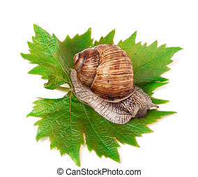 snail crawling on the grape leaf white background