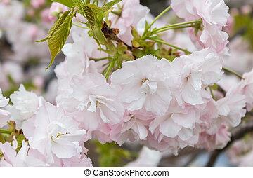 estación, naturaleza, flor, Cereza, Plano de fondo,  sakura