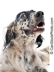 english setter - cute purebred english setter laid down in...