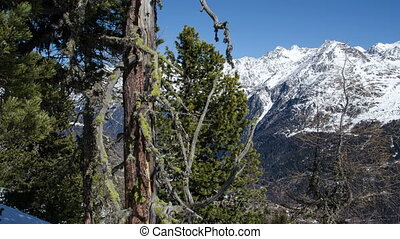 Dolly Shot over Old Pine Trees with Moss in Snowy Forest in...