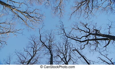 the tops of the oaks in winter, blue sky, camera rotates...