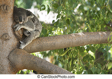 Koala Bear Sleeping in a tree. - Cute Koala Bear sleeping in...
