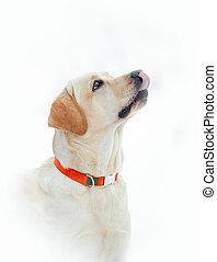 Labrador retriever begging for treats over a white...