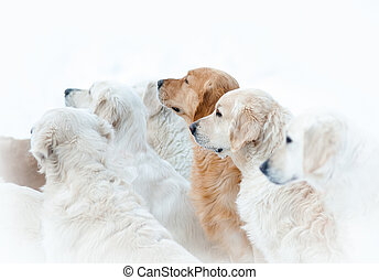 golden retriever dogs - Pack of golden retriever dogs...