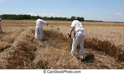 Two reapers are cutting wheat. - People are reaping wheat...