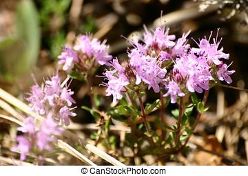 Beautiful pink flowers in natural habitat