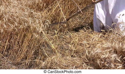 Farmer is cutting wheat. - Farmer is reaping wheat manually...